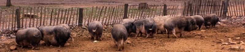 Les ptits cochons de Guédelon